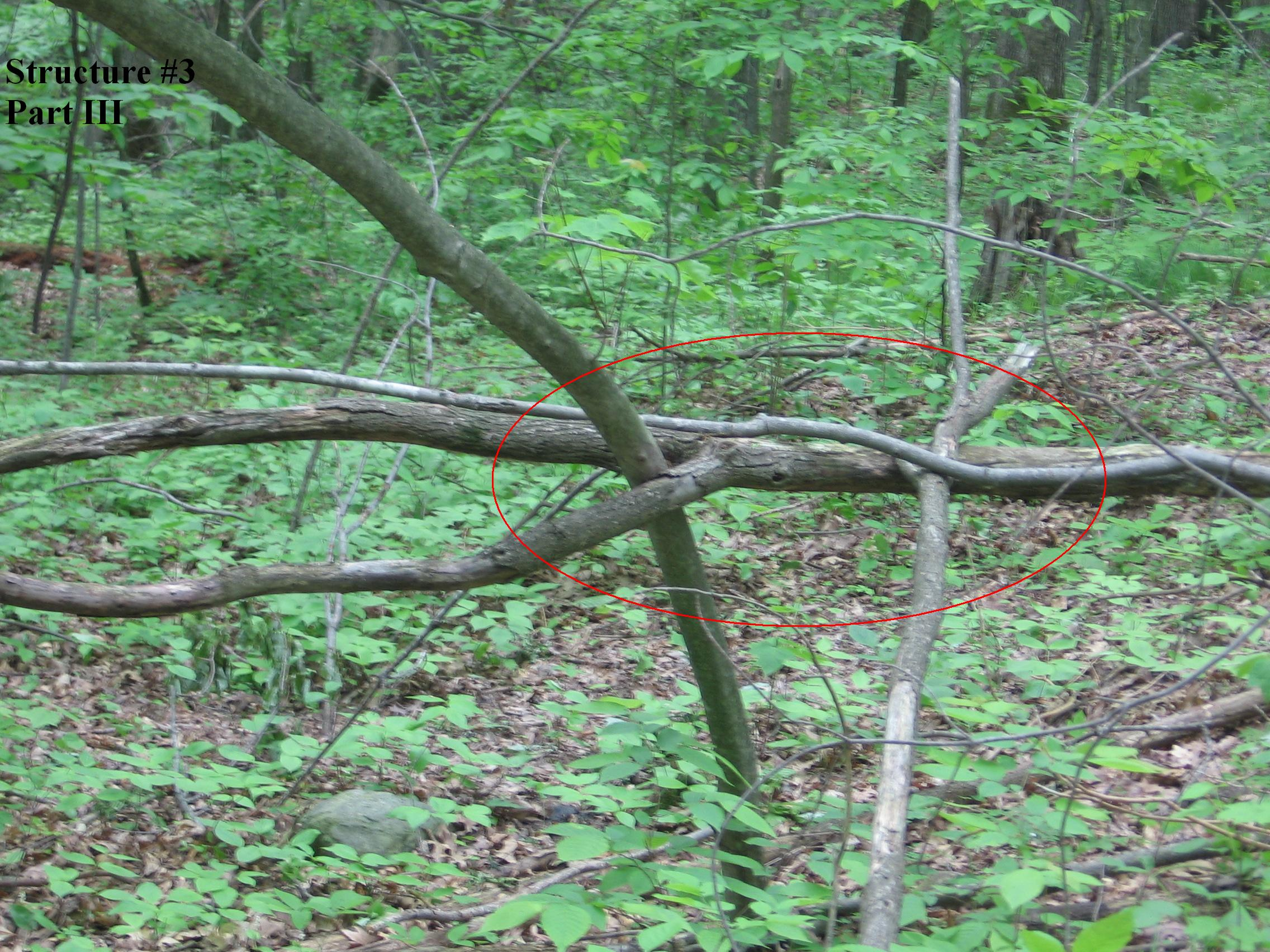 Structure #3, Tree woven through other trees part III