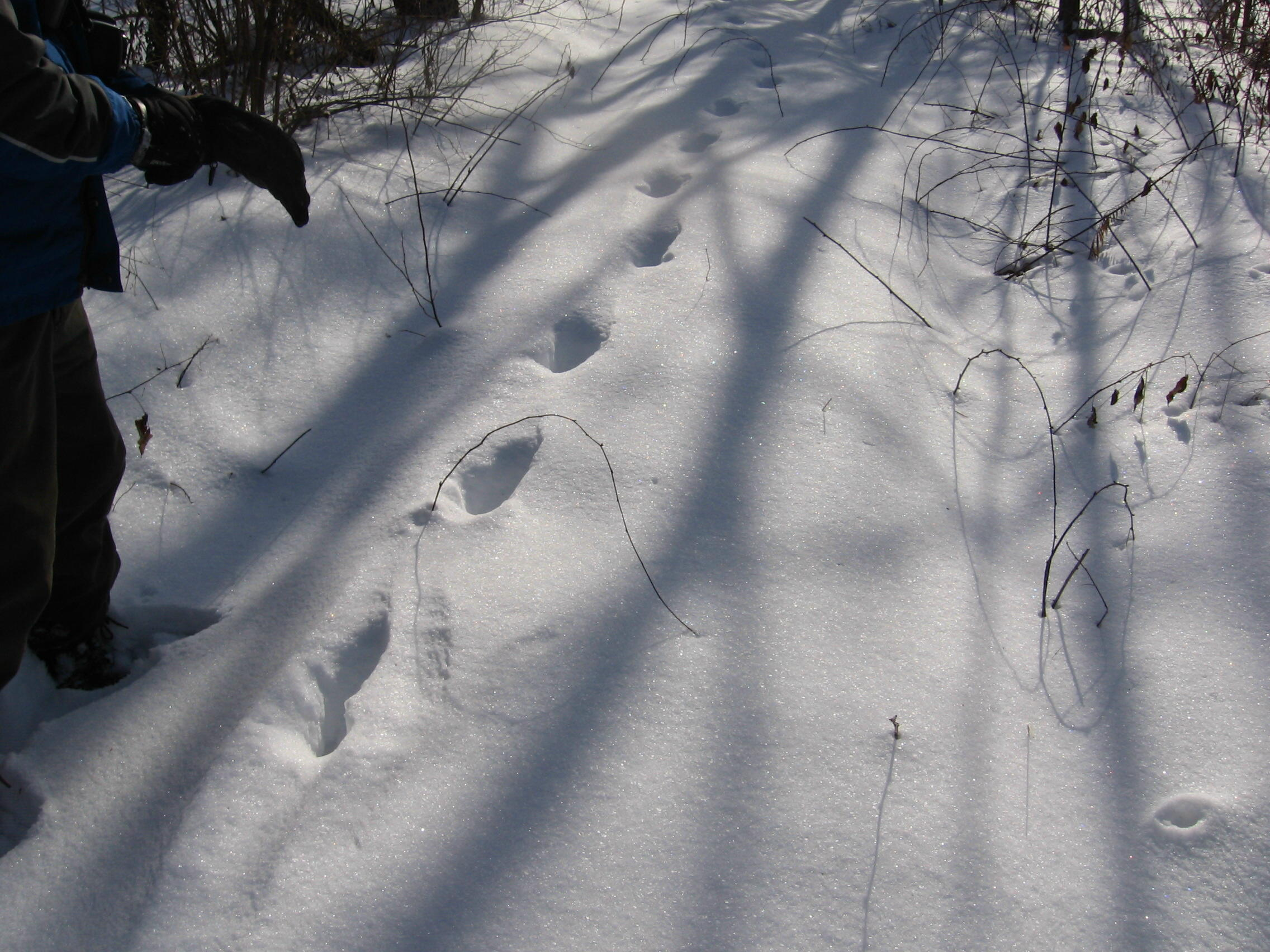 Photo of Bigfoot Tracks, One Foot in Front of the Other